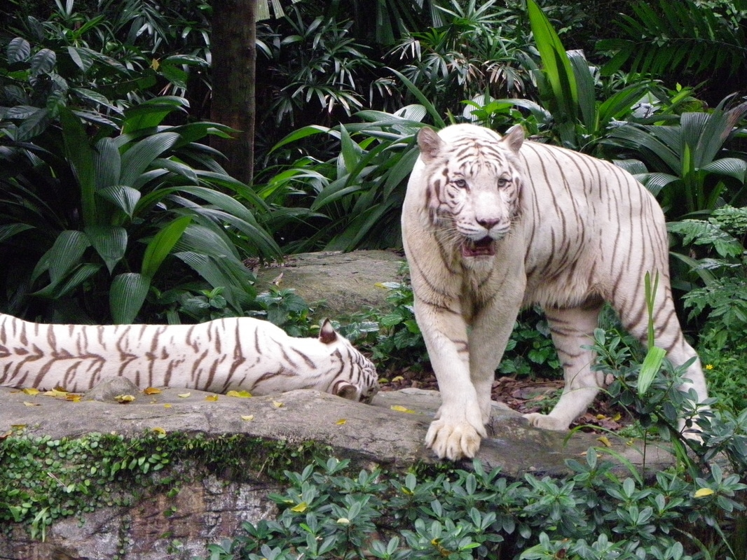 White Tiger, Singapore Zoo