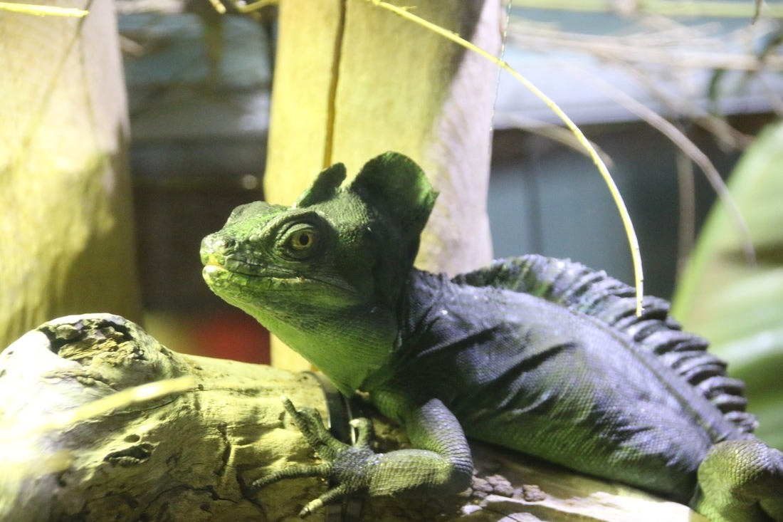 Double Crested Basilisk, Melbourne Zoo