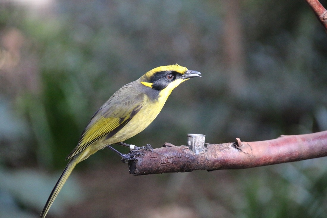 Helmeted Honeyeater, Melbourne Zoo