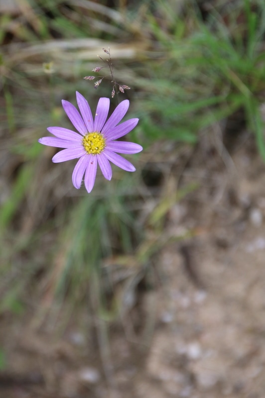 Flower, KosiPark Camping Grounds and Surrounds, ​Kos​ciuszko National Park