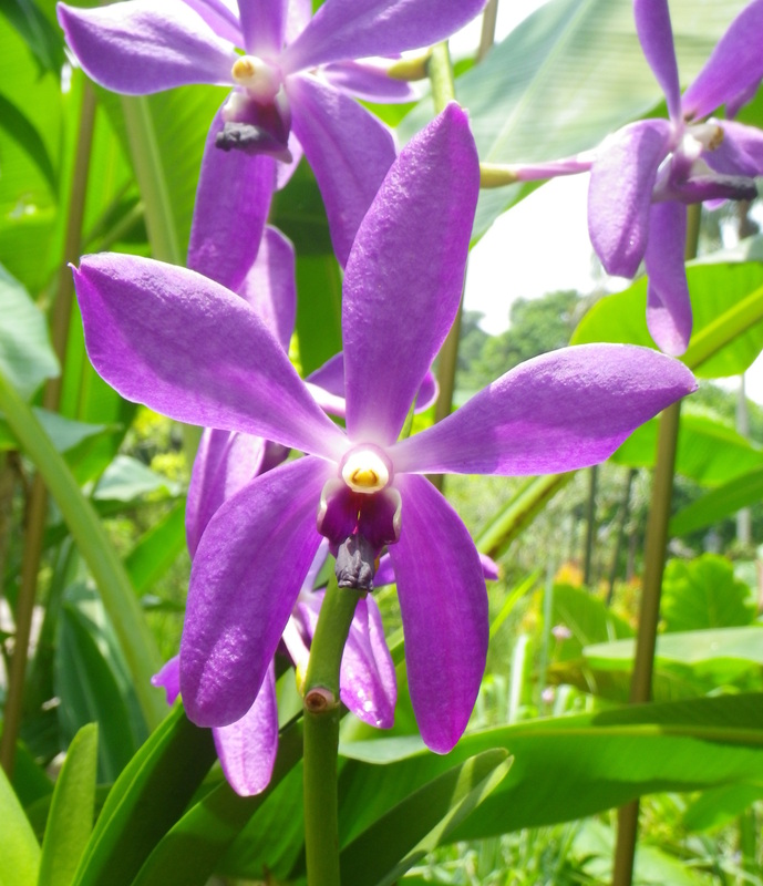 Orchid Flower Singapore Botanical Gardens