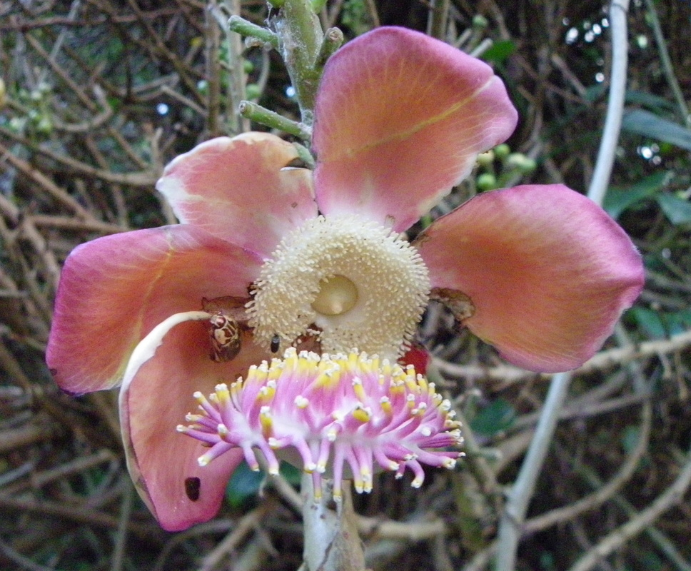 Cannonball Tree Flower Singapore Botanical Gardens