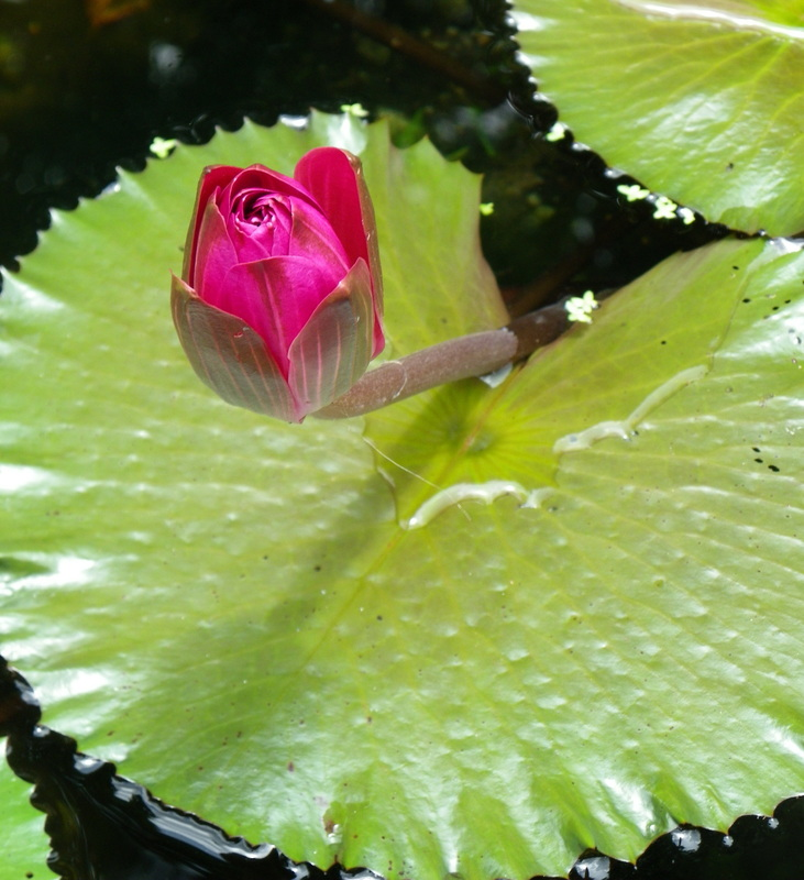 Lilly pad with flower singapore botanical gardens