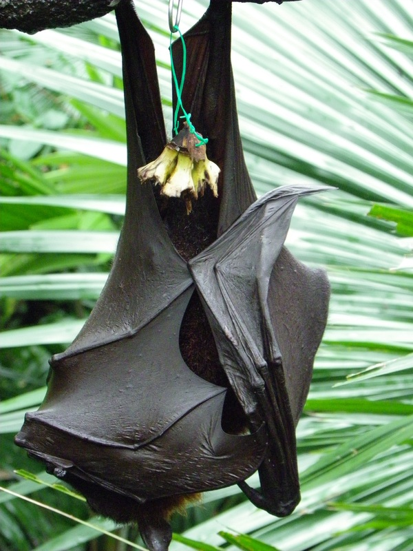 Malayan Flying Fox bat in the fragile forest enclosure singapore zoo