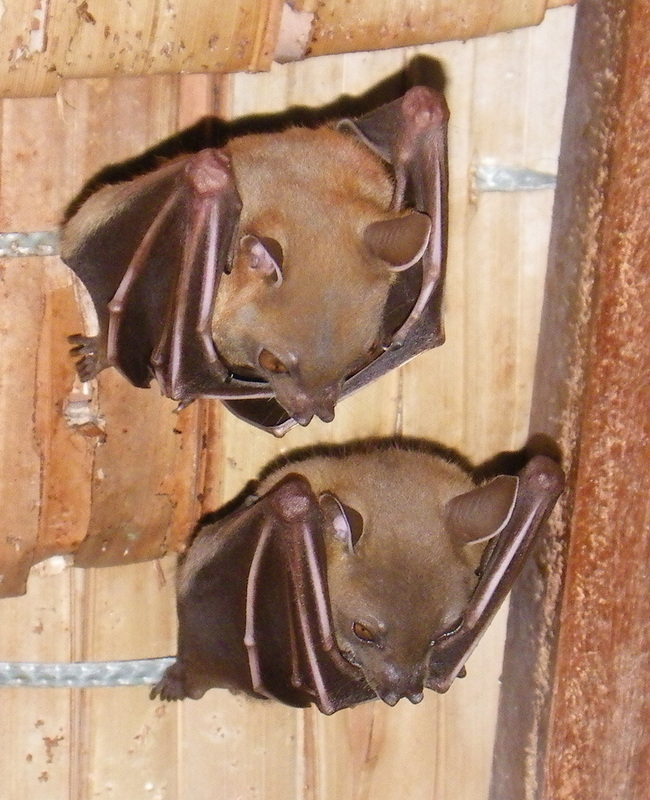 Common Fruit Bat or Lesser Dog-faced Fruit Bat, Wild, Cynopterus brachyotis
