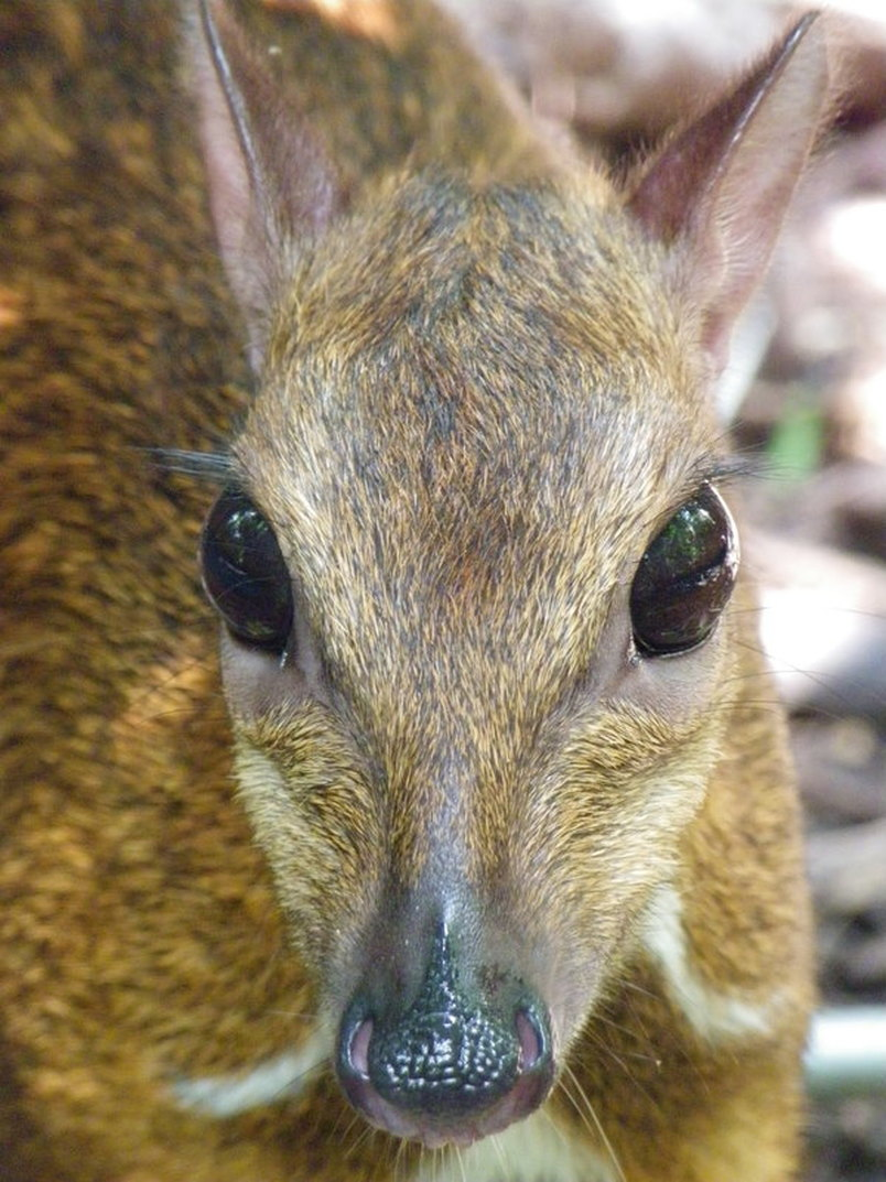 Mouse Deer, Singapore Zoo