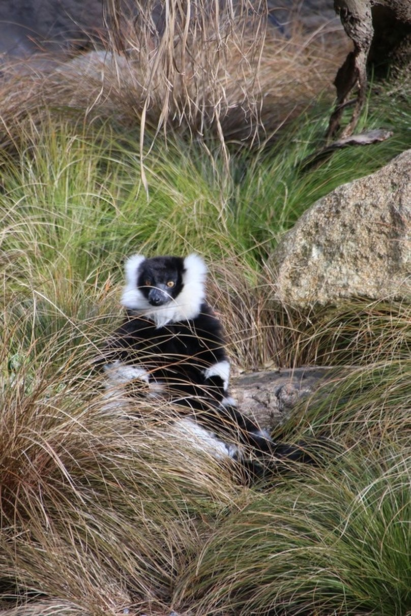 Black and White Ruffed Lemur, Melbourne Zoo, Australia