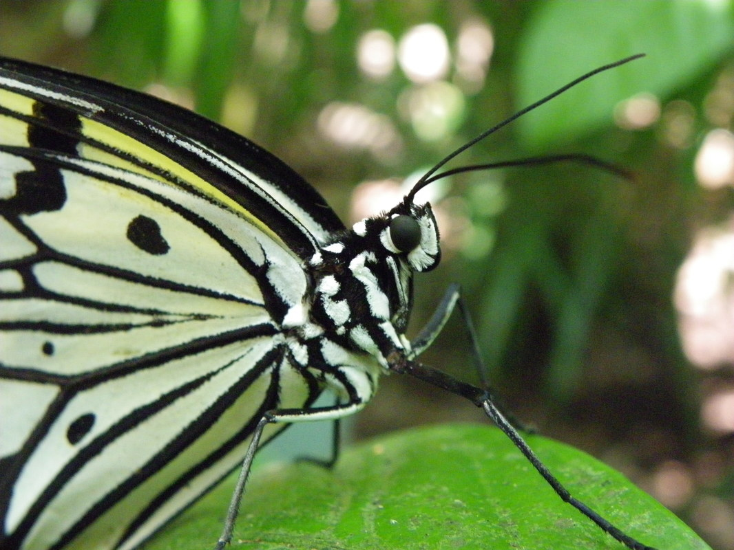 Butterfly, Singapore Zoo.