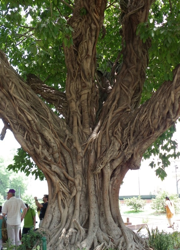 The Red Fort, Delhi, India. Incredible Fig Tree.