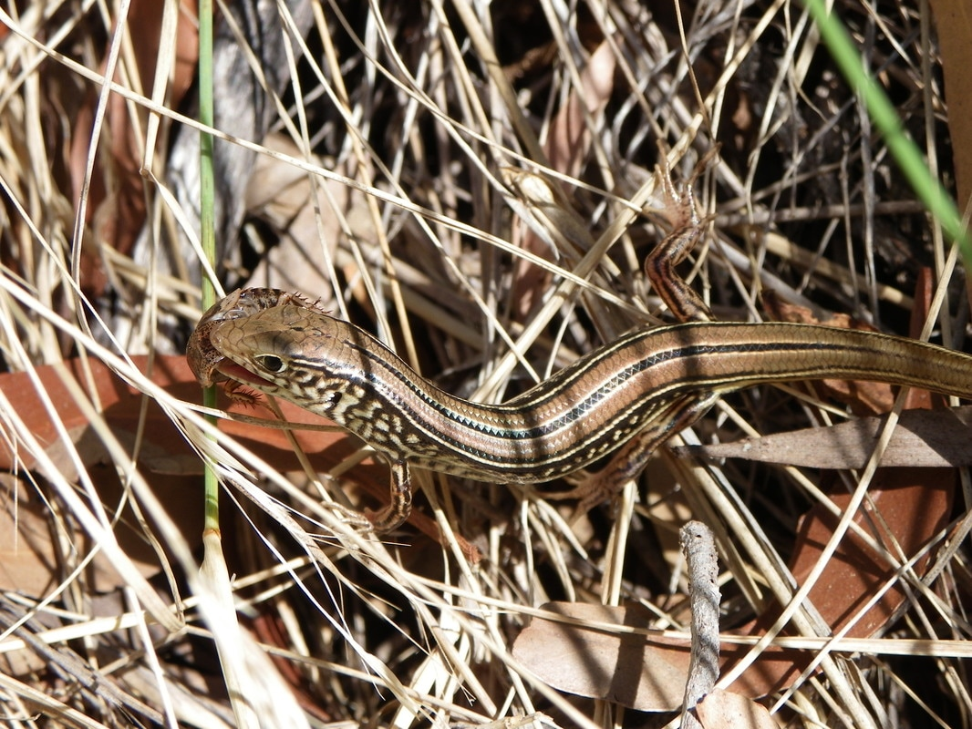 Skink eating an Insect. Magnetic Island Forts Walk, Queensland, Australia.