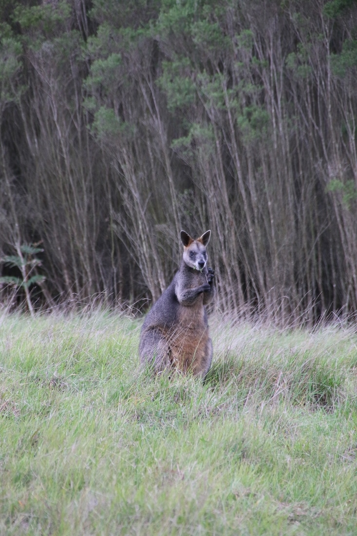 Wallaby, Wylies Creek Track, Royal Botanic Gardens Cranbourne.