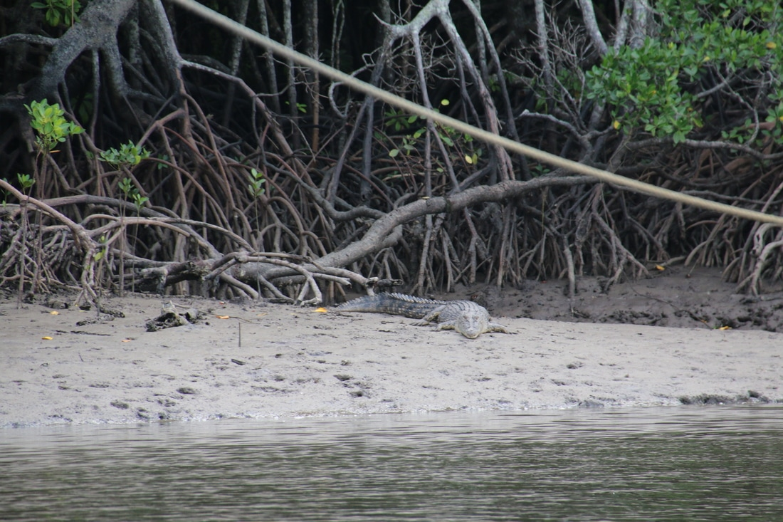 Salt Water Crocodile, Dixon Inlet, Port Douglas, Queensland, Australia