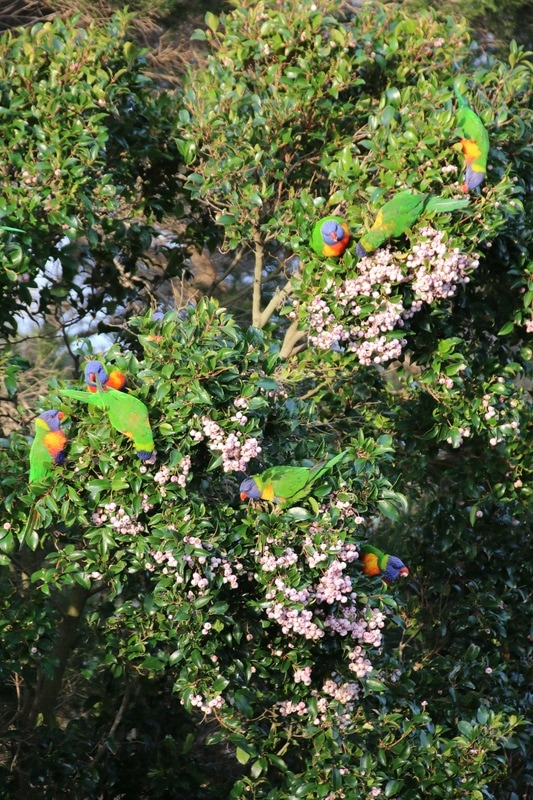 Rainbow Lorikeet, Mornington Peninsula, Victoria, Australia.