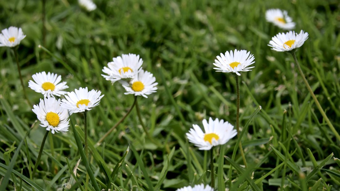 White Field Daisies, Churchill Island Heritage Farm