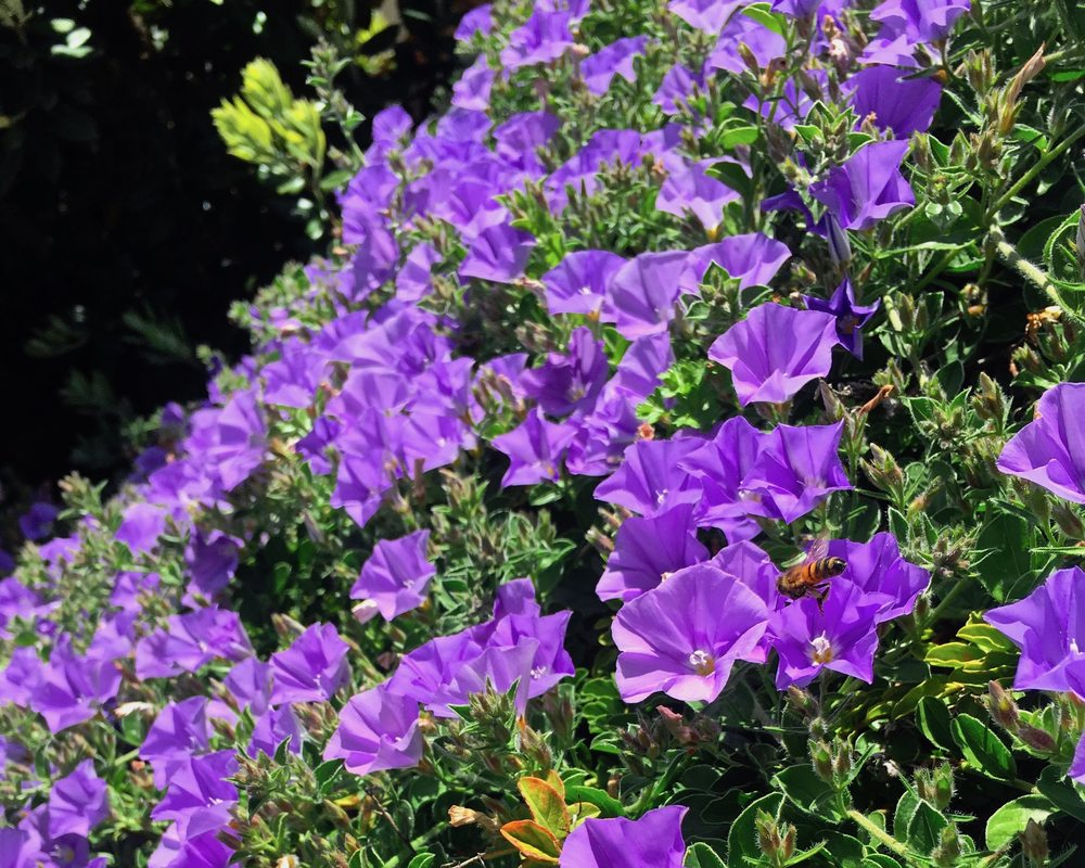 PicturePurple Convolvulus flowers with a visiting bee