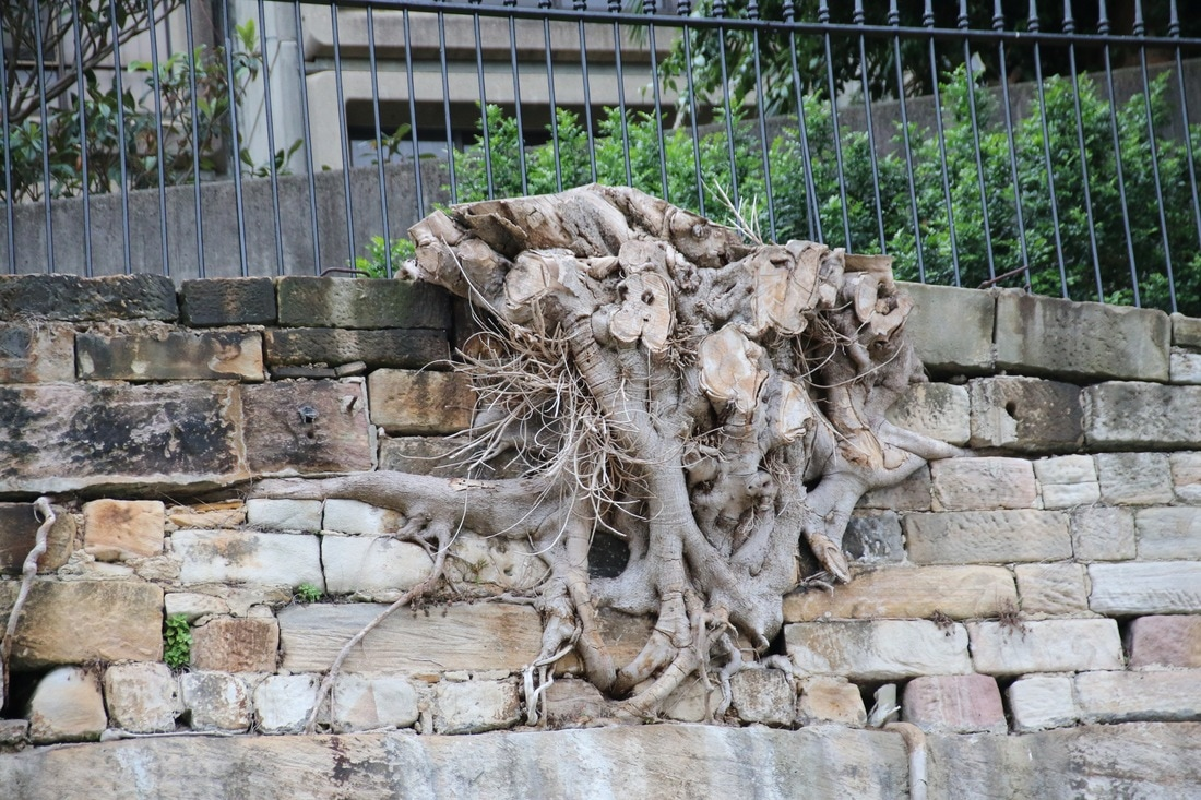 Old Fig Tree Roots, Sydney, Australia
