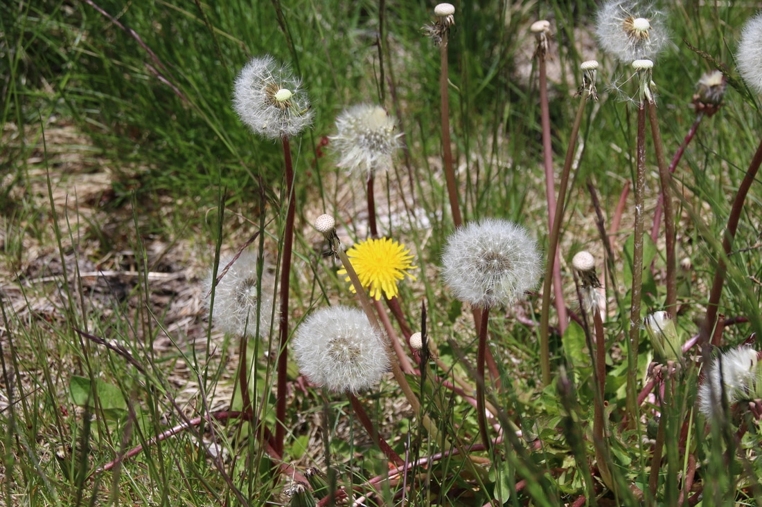 Dandelions at Thredbo in Summer, Kosciuszko National Park, New South Wales, Australia