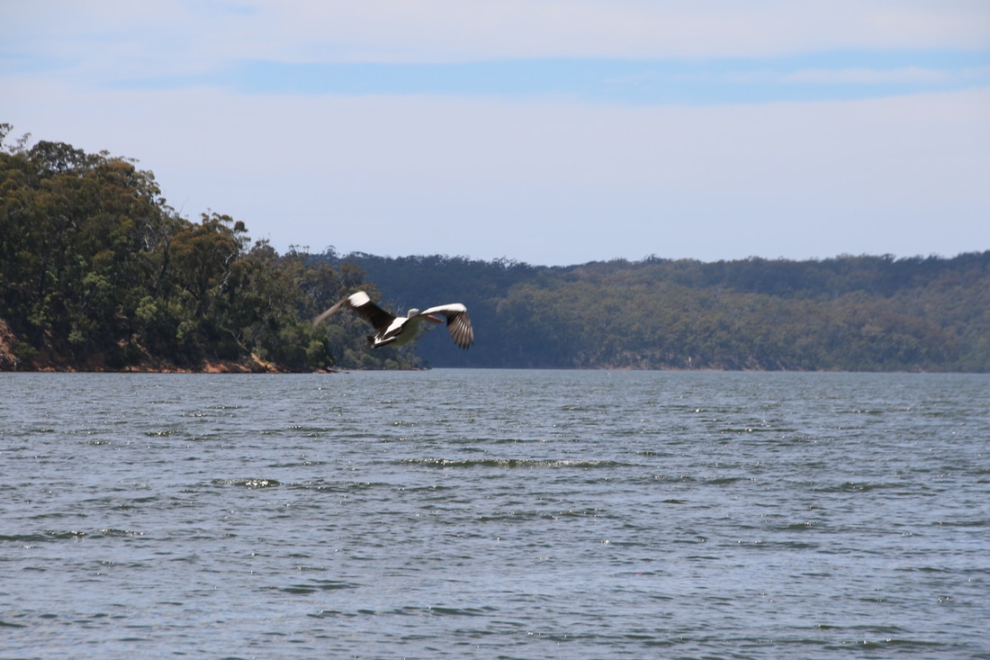 Pelican, Top Lake and Bottom Lake and Surrounds, Mallacoota, Victoria, Australia