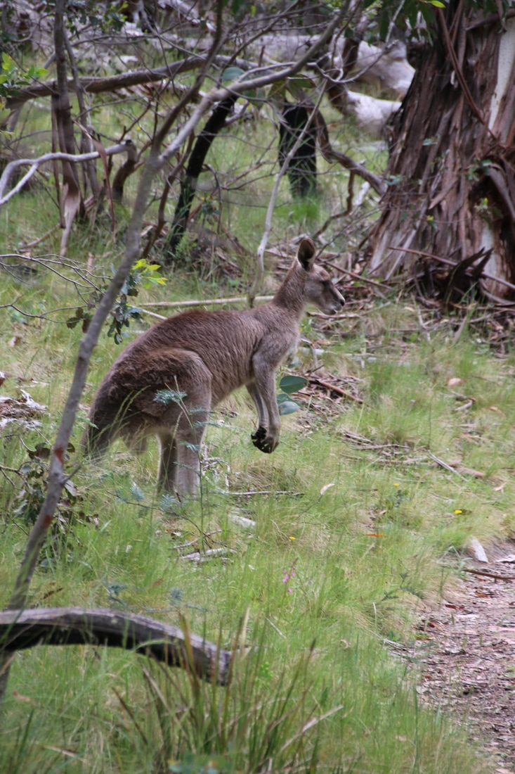 Kangaroo, The Waterfall Track, Kosciuszko National Park, New South Wales, Australia