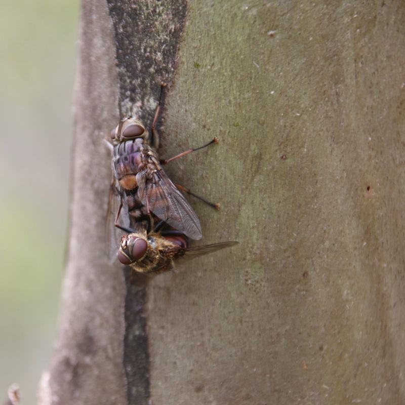 Flies, The Diggings, Kos​ciuszko National Park, New South Wales, Australia
