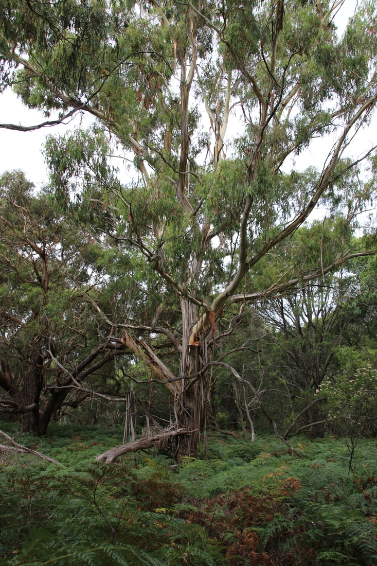 Baldry's Crossing Circuit Walk, Main Ridge, Mornington Peninsula, Victoria, Australia