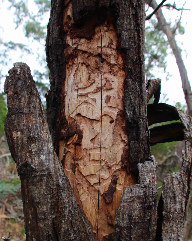 Insect carved tree trunk, The Briars, Mount Martha, Mornington Peninsula, Victoria, Australia