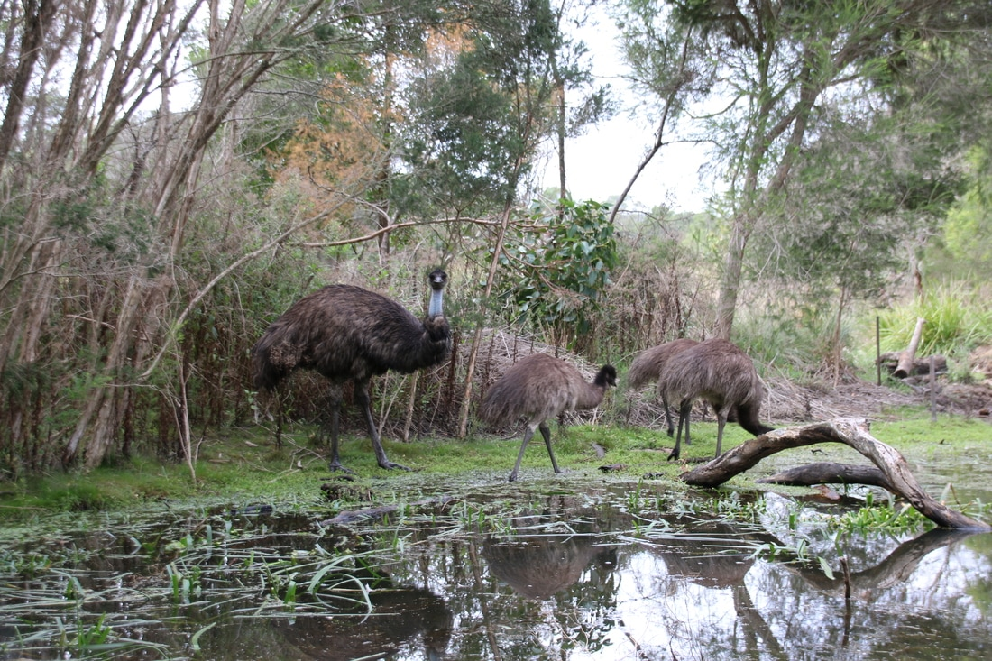 Emus, The Briars, Mount Martha, Mornington Peninsula, Victoria, Australia