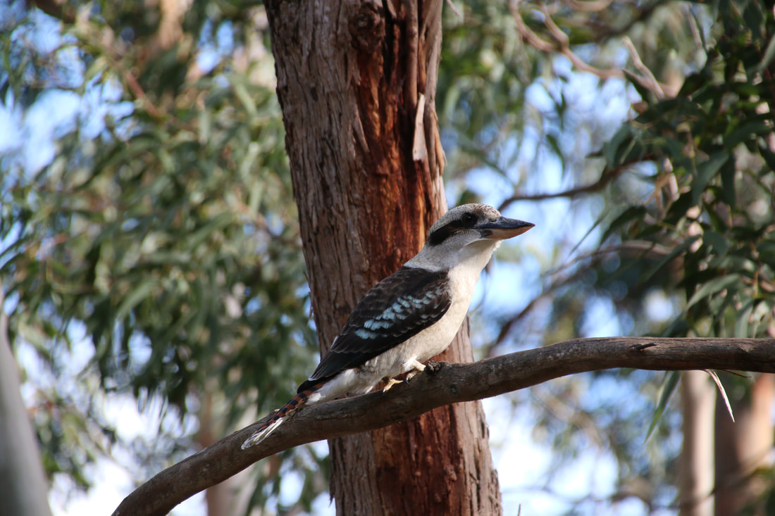 Balcombe Estuary Boardwalk to the Briars. Kookaburra.