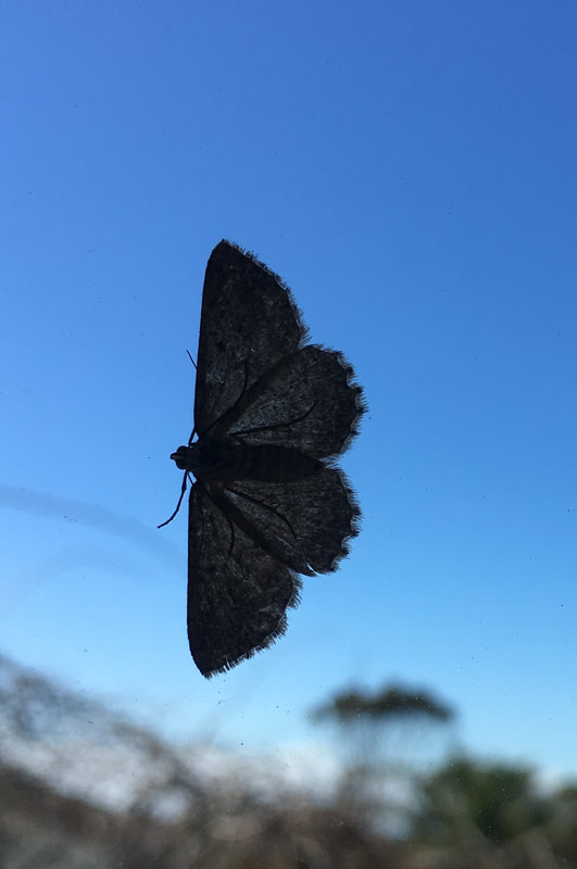 Moth, Mornington Peninsula, Victoria, Australia