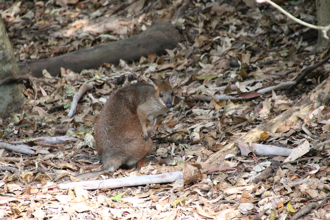 Wallaby, Wildlife Park, Hartley's Crocodile Adventures, Queensland, Australia