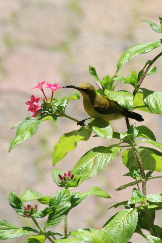 Yellow Honeyeater,
