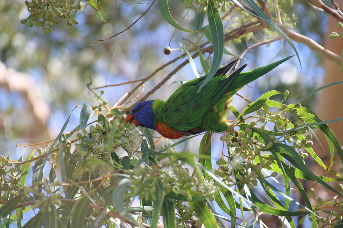 Rainbow Lorikeet, Kings Park, Perth, Western Australia