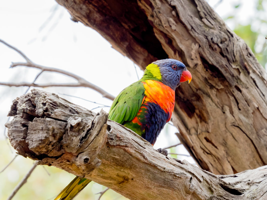 Rainbow Lorikeet, Mornington Peninsula, Australia