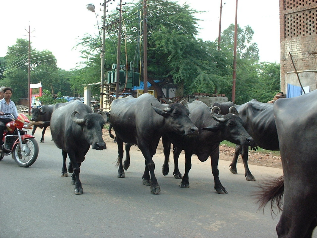 Cattle on the roads in India
