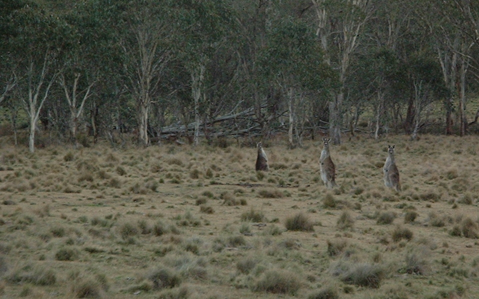 wild native Kangaroos New England National Park New South Wales Australia