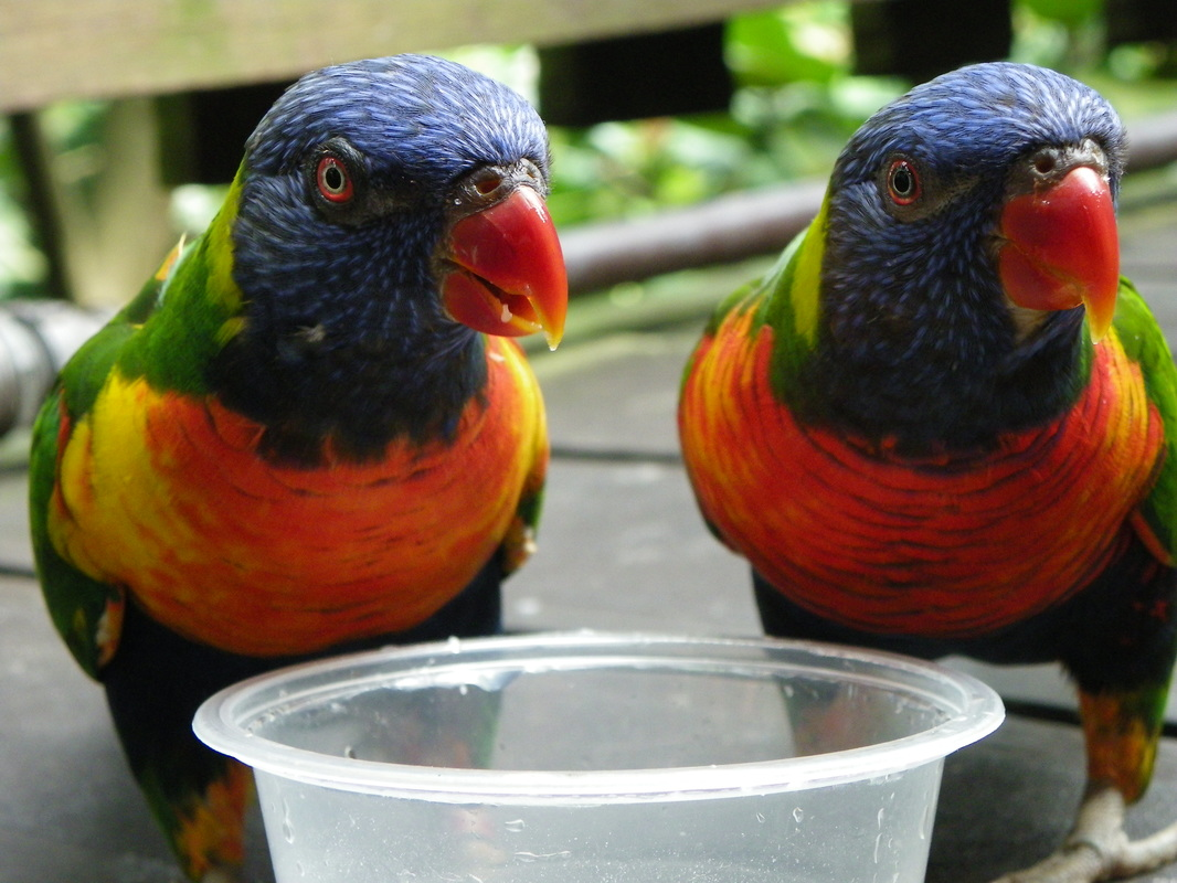 Rainbow Lorikeet, Jurong Bird Park, Singapore
