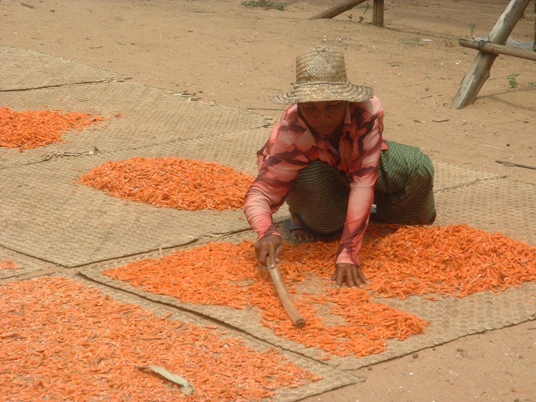 Drying Shrimp in the sun at Kampong Phluk, Cambodia.