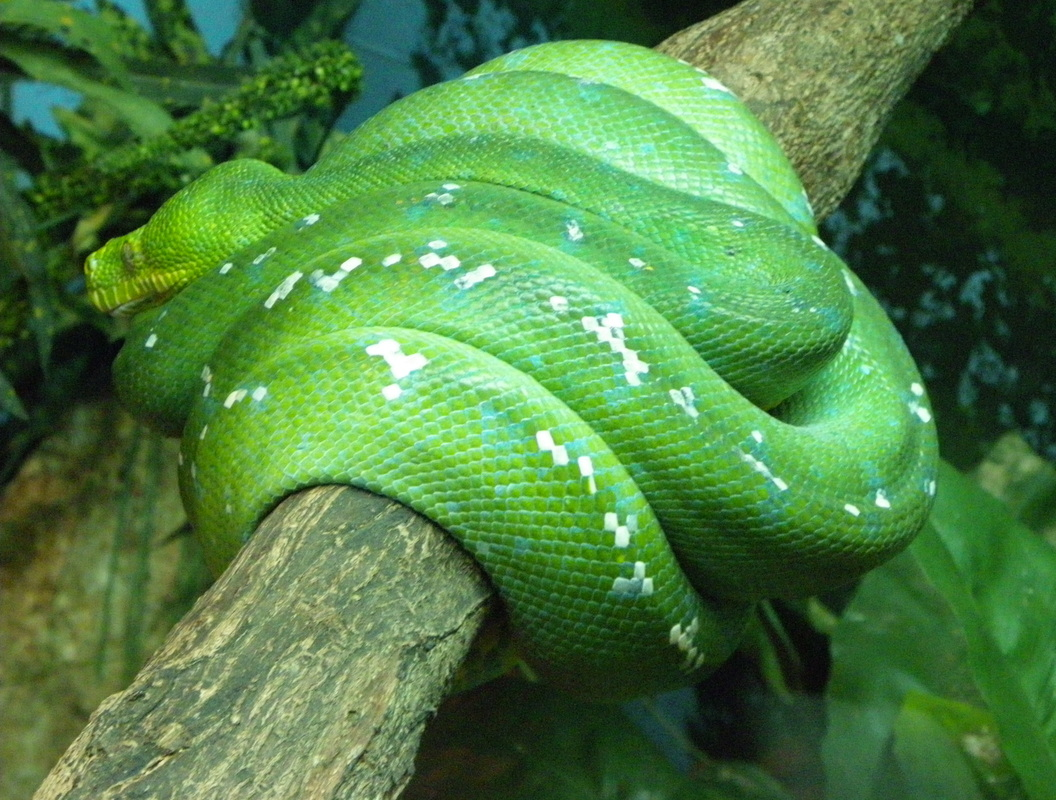 Green Tree Python Singapore Zoo