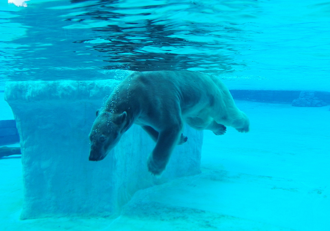 Inuka Polar Bear Singapore Zoo at the Frozen Tundra exhibit