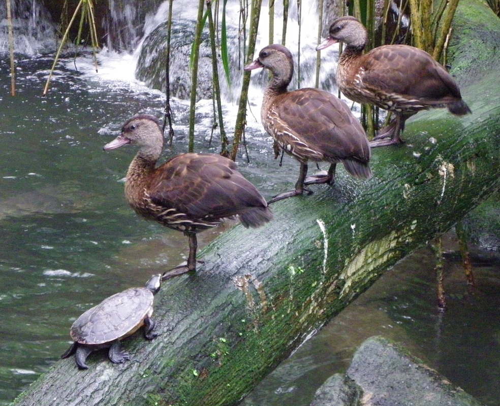 Ducks, Singapore Zoo