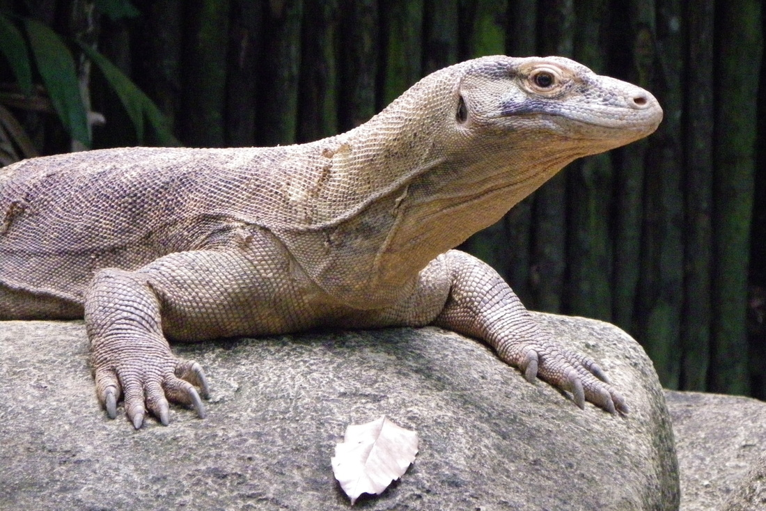 Komodo Dragon singapore zoo