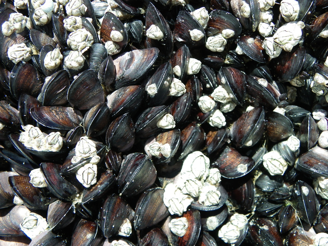 Rock Mussels, Norman Bay, Wilsons Promontory National Park, Victoria, Australia