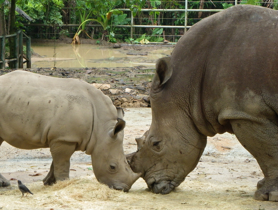 White Rhinoceros with calf singapore zoo