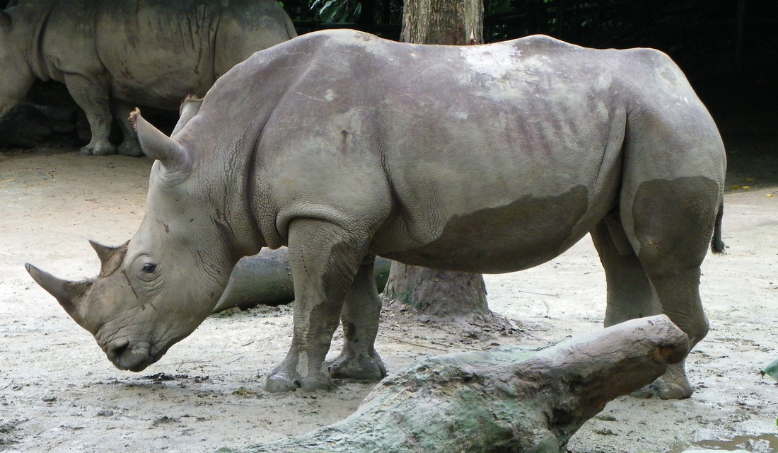 White Rhinoceros singapore zoo