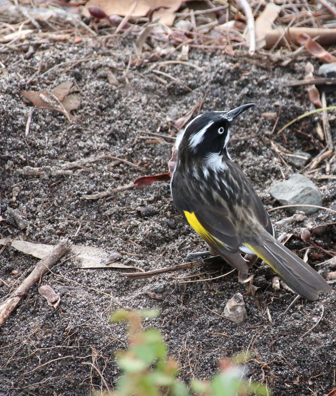 New Holland Honeyeater, The Australian Gardens, Royal Botanic Gardens Cranbourne
