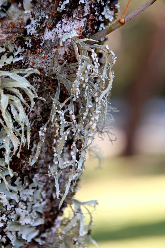 Lichen growing on a tree trunk. The Blue Mountains, Australia.