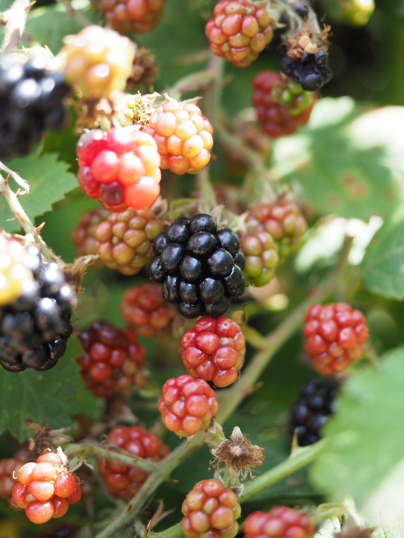 Blackberries growing in Victoria, Australia. Black, red fruit, berries.