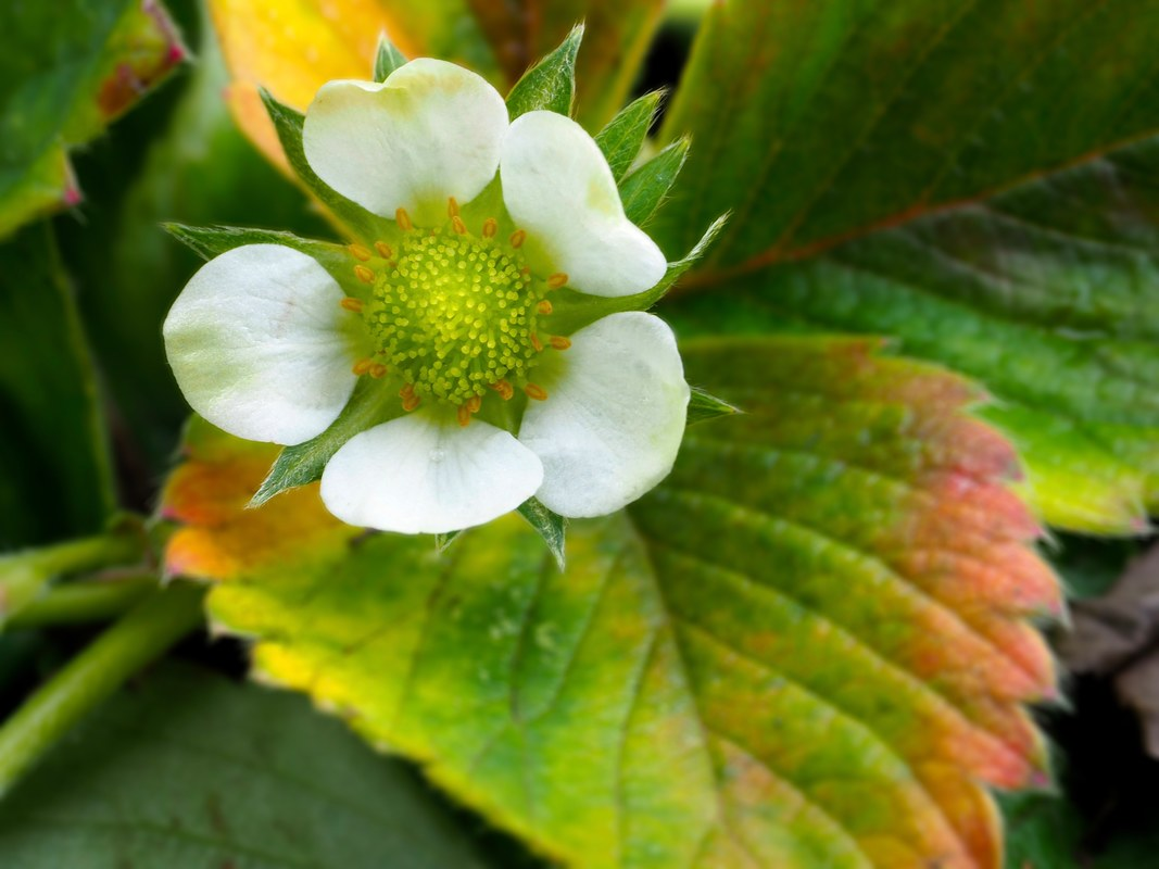 Strawberry flower.Garden plants. Fruit.