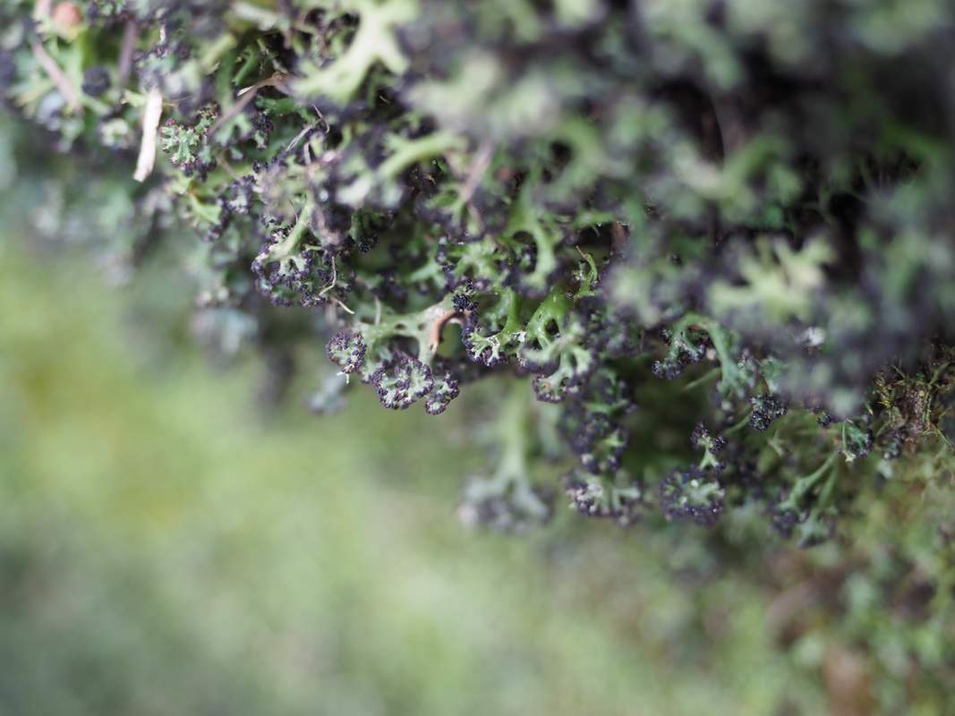 Lichen's growing in Victoria, Australia. Green branches with black tips.