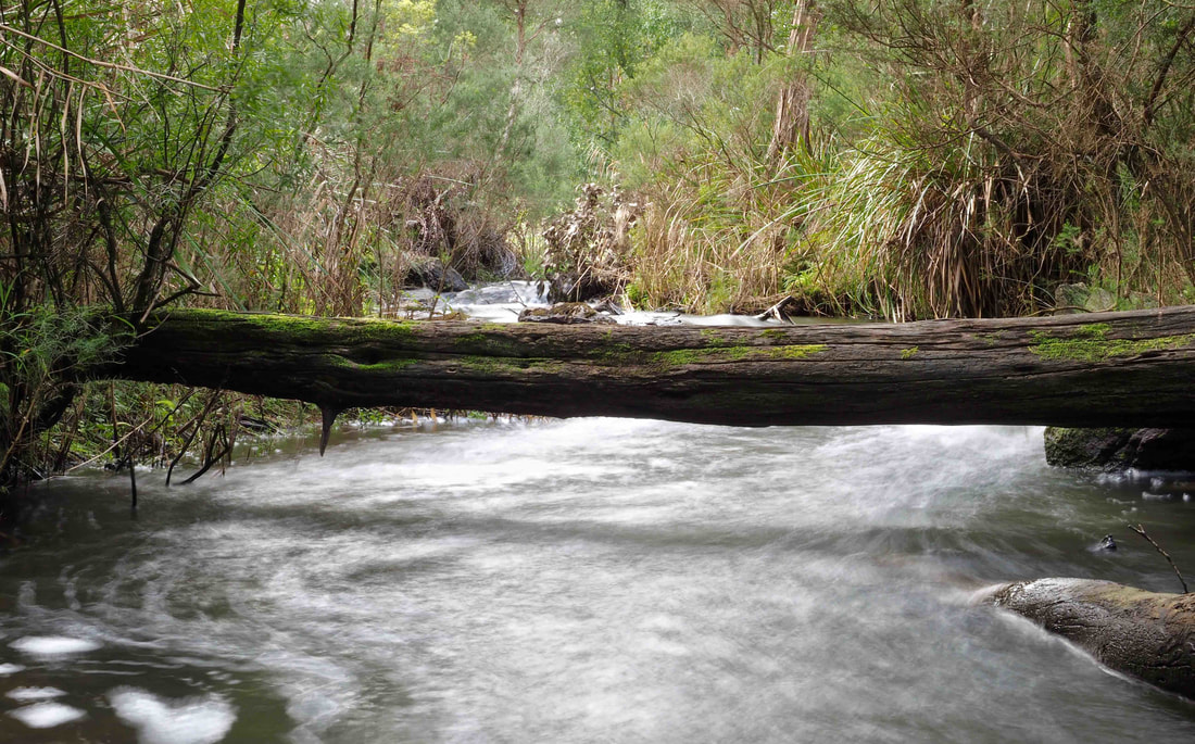 Fallen log over the creek, Baldry's Crossing Circuit Walk, Main Ridge, Mornington Peninsula, Victoria, Australia